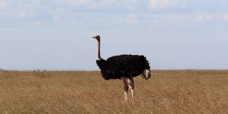 ostrich centered